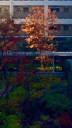 The December sunlight catches this tree in the inner garden of my apartment block. (Photo©Clive Collins)