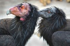 Day of the condors by Stinkersmell, via Flickr