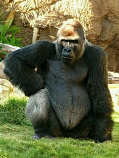 I have been worrying all night for you to come home young lady and you show up the next morning? Go straight to your room, you are grounded for a week missy. Silverback Gorilla Strength, Primates, Mammals, Regard Animal, Gorillas In The Mist, Types Of Monkeys, Planet Of The Apes, Baboon, Chimpanzee