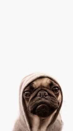 Tap for more Cute Pug Dog HD Wallpapers. – Wallpapers for iPho… Cute pug. Tap for more Cute Pug Dog HD Wallpapers. – Wallpapers for iPhone and iPhone Plus. Amor Pug, Funny Animals, Cute Animals, Sweet Dogs, Cute Pugs, Cutest Dogs, Funny Pugs, Pug Love, Phone Wallpapers