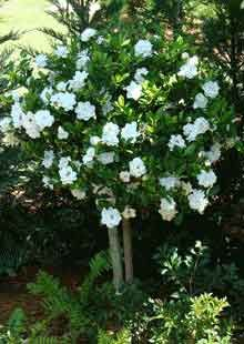Gardenia Tree...amazed at how large they can become!