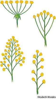 Inflorescence --- umbel,  corymb,  panicle,  and  raceme