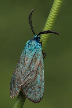 Blue moth | Small bluish moth (Adscita statices or A. Mannii… | Flickr
