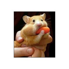The Raw Feed: Viagra Helps Hamsters With Jet Lag ❤ liked on Polyvore featuring animals and hamsters