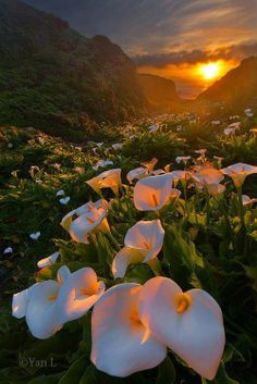 Calla Lily Valley