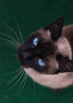 Bu Cat | Pawshake