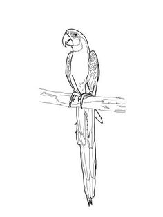 Blue And Gold Macaw Coloring Page