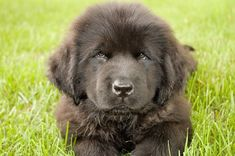 Did you know that an eight-week-old Newfoundland puppy and an adult Scottish terrier weigh about the same? They hardly ever get mixed up though, hardly ever at all ... Boxer Puppies, Cute Puppies, Cute Dogs, Dogs And Puppies, Awesome Dogs, Dog Comparison, Newfoundland Puppies, Nanny Dog, Loyal Dogs