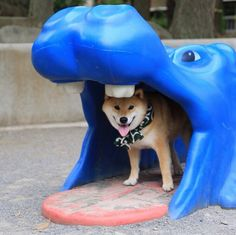 """""""I ran away from you and this is where I am hiding"""", your Shiba Something a Shiba owner completely understands!"""