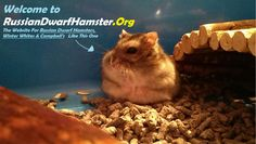 Home page for RussianDwarfHamster.Org... Here you will find everything you need for Russian Dwarf Hamsters.   We can help you with accessories, cages, best places to buy, taming guides, fighting problems, behaviour and more. Just visit our website at http://russiandwarfhamster.org/ for more