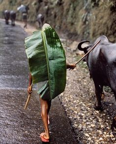 Photo by @stevemccurryofficial // A large banana leaf serves as an umbrella for a boy herding a water buffalo near Kathmandu, Nepal, during the monsoon. Banana leaves can grow up to ten feet long and as wide as two feet and are waterproof. They are used for cooking, food serving, decoration, and ceremonial occasions. The dried thatch is used as building material in some tropical regions.
