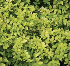 Lonicera Edmee Gold™ | Star® Roses and Plants
