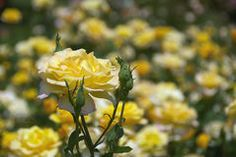 Yellow Rose 1 Stock Images