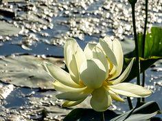 American Lotus Lily Lake Amana Ia 01