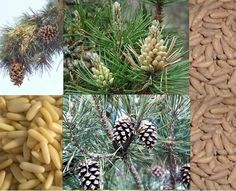 Health benefits of Pine Nuts  Health benefits of Pine Nuts चिलगोज़ा (Chilgoza)   Read more about Nutritional information of Pine Nuts चिलगोज़ा  Pine nuts contain the highest amount of proteins, found in any nut that provides an instant source of energy. It also helps to repair and build the muscle tissues. Protein is a slow burning fuel that provides a long lasting energy boost which does not result in burnout. It also helps to improve the body's use of oxygen, increasing the energy levels…