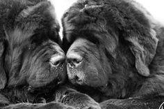 Newfoundlands. Saw you added to your family. Congrats. @Kat Abke