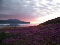 Purple saxifrage is an Arctic wildflower of intense colour. Is the sunset painting the flowers, or the flowers the sunset?