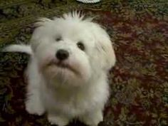 Very funny 5 month Coton De Tulear puppy - YouTube