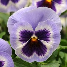 Check out the deal on Pansy Spring Matrix Blue Wing    250 seeds at Hazzard's Seeds