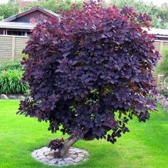 Red Plants, Bonsai Plants, Purple Smoke Bush, Hello Hello Plants, Smoke Tree, Red Hydrangea, Hydrangea Paniculata, Hardy Plants, Deciduous Trees