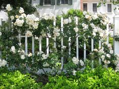 Rosa 'Climbing Iceberg' She's a floriferous, mannerly English gal from 1968--a nearly thornless floribunda climber with many fragrant blooms from summer to fall, She likes to bloom on old wood so careful with the secateurs.