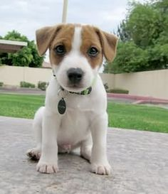 Jack Russell Terrier Puppy ~ JRTCA Main Picture Gallery