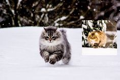 Siberian Forest Cats Rescued by A Couple, Now Play With Snow for the First Time - Love Meow