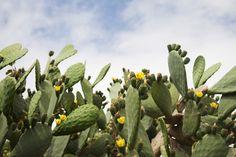 Indian Fig Cactus, Ginostra, Stromboli Island, Aeolian Islands, Italy - 600-06009171 © Siephoto Model Release: No Property Release: No Indian Fig Cactus, Ginostra, Stromboli Island, Aeolian Islands, Italy
