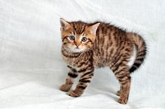 Female kitten, 5 weeks old, European short-hair, tabby.