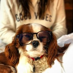credit: @rileythecavalierking... Spaniels, King Charles, Cavalier, Sunglasses, Stuff To Buy, Fashion, Moda, Fashion Styles, Sunnies
