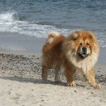 Chow Chow wallpapers for desktop