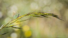 Callophrys rubi | by Javier Díaz Barrera (javierdiazbarrera.es)