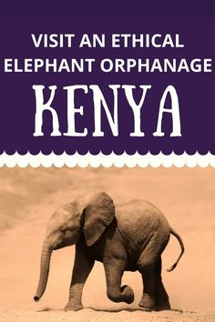 Visiting the Sheldrick Wildlife Trust in Nairobi Kenya is a great way to ETHICALLY get close to baby elephants. here's your guide to visiting this incredible animal rescue.