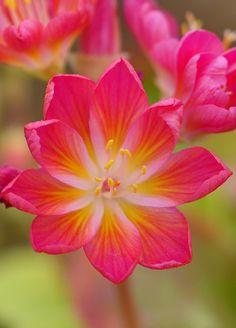 Lewisia cotyledon 'Rainbow series' by celerycelery**