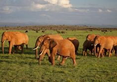 The Place Where Hope Survives for the World's Endangered Elephants - At the Loisaba Conservancy in Kenya, the people who live alongside the animals benefit from conservation as well. http://www.independent.co.uk/news/world/loisaba-conservancy-where-hope-survives-for-the-worlds-endangered-elephants-a6973556.html