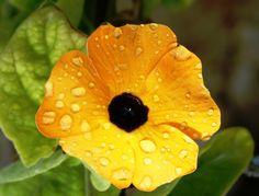 thunbergia alata black-eyed susan, after summer rain