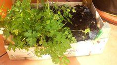 Moi qui ne suis qu'une jardinière du dimanche, voici comment j'arrive à obtenir un petit potager très facilement sans rien débourser. À partir des graines et souches récoltées dans ma cuisine