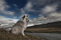 Moment in Time by Bragi Ingibergsson - BRIN Beautiful Wolves, Most Beautiful Animals, Beautiful Life, Beautiful Creatures, Beautiful People, Mundo Animal, Animal Wallpaper, Cute Animal Pictures, Living At Home