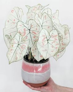 Caladium Strawberry Star Caladium Strawberry Star The post Caladium Strawberry Star appeared first on Pflanzen ideen. Informations About Caladium Strawberry Star - Pflanzen ideen Cool Plants, Potted Plants, Indoor Plants, Foliage Plants, Indoor Gardening, Indoor Cactus, Cactus Plants, Weird Plants, Hanging Plants