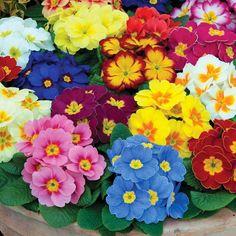 Primula Vulgaris o Primavera - http://jardineriaplantasyflores.com/primula-vulgaris-o-primavera/