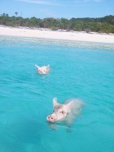 I want to go swim with the swimming pigs on the island of Exuma!