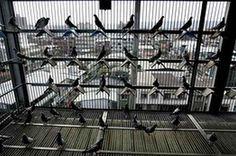 Idaho Feed Biz Homes in on Taiwan's Racing Pigeons Pigeon House, Pigeon Loft, Homing Pigeons, Best Stocks, Bird Cages, Coops, Idaho, Racing, Pigeon Pie