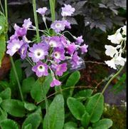 Primula alpicola moonlight primrose marsh tibetan Care Plant Varieties & Pruning Advice