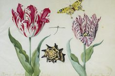 Jacob Marrel, Two Tulips, a Butterfly and a Shell, 1637 -1645