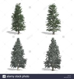 Download this stock image: Spruce trees, isolated on white background. - J0DC70 from Alamy's library of millions of high resolution stock photos, illustrations and vectors.