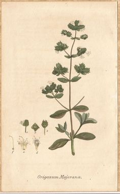 Sweet Marjoram As An Herbal Medicine 1825 H/C Engraving-kindness