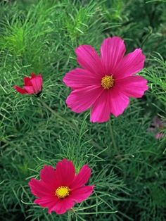 Add cosmos plants to your garden or grow these daisy-like flowers from seeds. These annuals are so undemanding, they'll bloom even in poor soils. They like full sun (but appreciate afternoon shade in hot climates) and tolerate drought once they're up and growing.