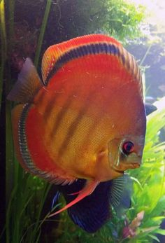 Discus Aquarium, Discus Fish, Freshwater Aquarium Fish, Aquariums, Rare Fish, Angelfish, Underwater Life, Beautiful Fish, Fish Tanks