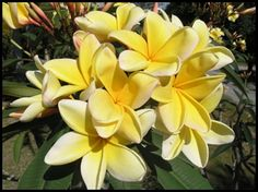 Detailed Picture of Aztec Gold-has a sweet peach/apricot scent-Available at Exotic Plumerias