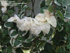 Ficus pumila variegated 'Snowflake' - creeping fig Room With Plants, House Plants, Ficus Pumila, Terrarium Plants, Botany, Trellis, Fig, Snowflakes, Gardening